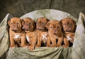 litter of puppies