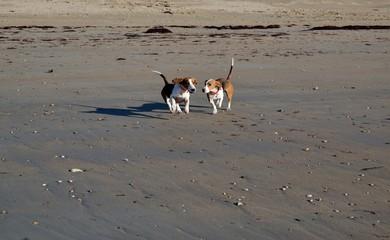 Chiens sur la plage en train de courir