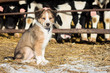 Puppy and farm