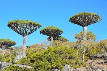 Плато Диксам, драконовые деревья, Йемен, остров Сокотра