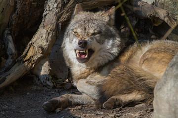 Grey wolf showing his teeth - aggression