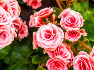 Begonia look like small rose
