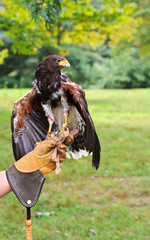 Falcon with Handler