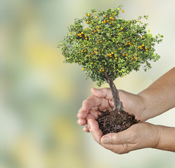 Orange tree in hands