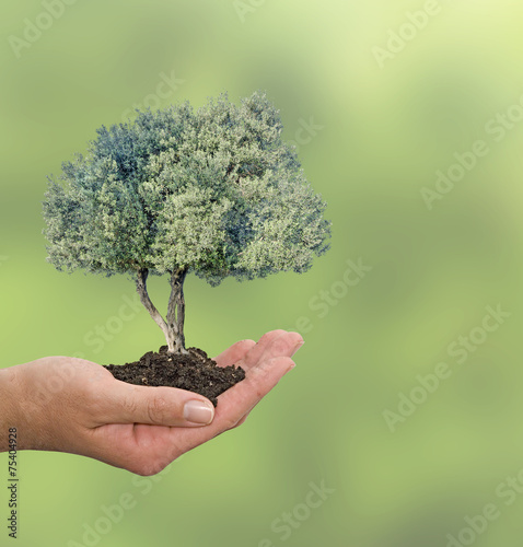 Tuinposter Olijfboom Olive tree in hand as a gift