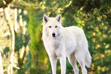 Arctic White Wolf Canis lupus arctos aka Polar Wolf