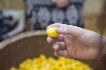 Hand picking yellow cocoon to prepare for silk thread