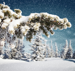 snowing in spruce tree forest