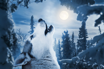 howling to the moon