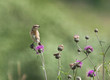 Young Whinchat on the flower