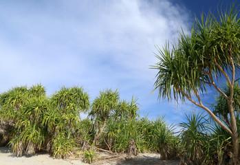 Screw Pine forest inSaint Martins Island