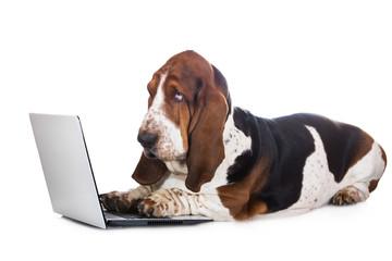 basset hound dog working on a computer