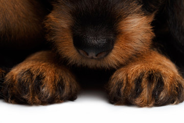 nose and paws dachshund puppies