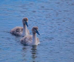 Baby Mute Swans