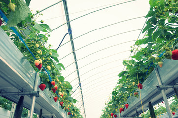 ビニールハウスで栽培している真っ赤な大きな苺