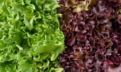 close up of green and red lettuce