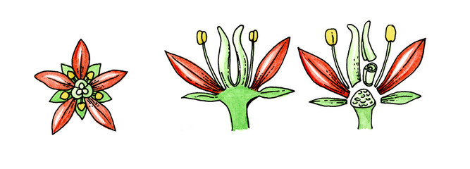 Illustration of a typical flower. Botany.