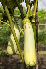 Snake eggplant on tree