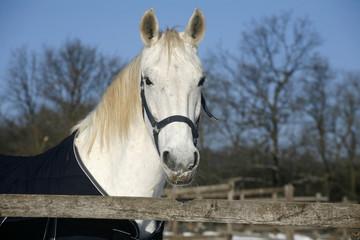 White horse  portrait in winter corral sunny day rural scene