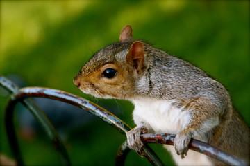 scoiattolo 1