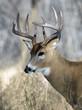 Whitetial Buck