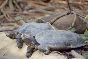 Giant asian pond turtles