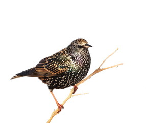 Bird Starling on branch isolated on white background
