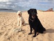 canvas print picture - Zwei Hunde am Strand
