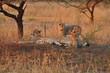 canvas print picture - Geparden unter einem Baum