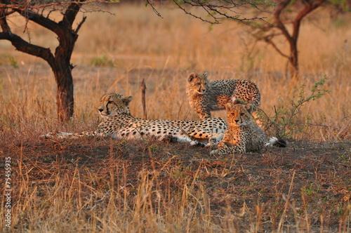 canvas print picture Geparden unter einem Baum