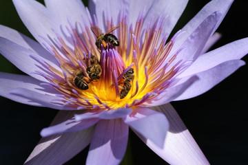 Fiore di Loto con api