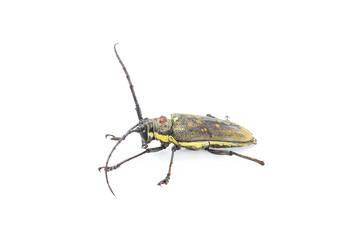 Long antennae beetle