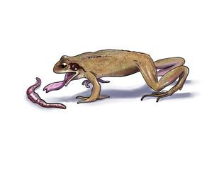 Frog feeding