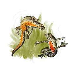 Newt dancing mating
