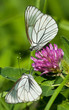 Black-veined White butterflies on a flower of red clover