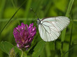 Black-veined White butterfly on a flower of red clover