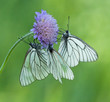 Black-veined White butterflies on a flower of Field Scabious