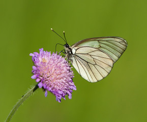 Black-veined White butterfly on a flower of Field Scabious