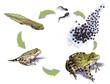 Frog life cycle - 75458772