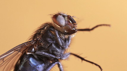 House fly isolated on beige background