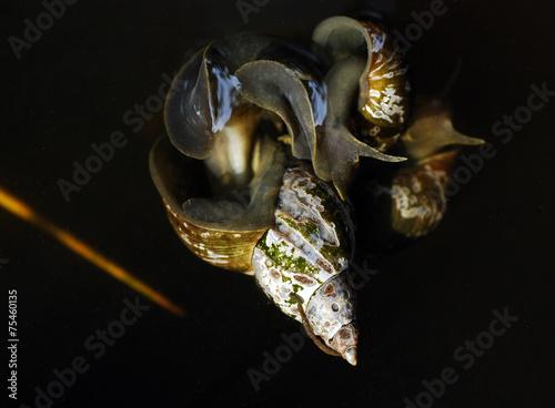 Leinwanddruck Bild Häutchen der Spritzschlammschnecke