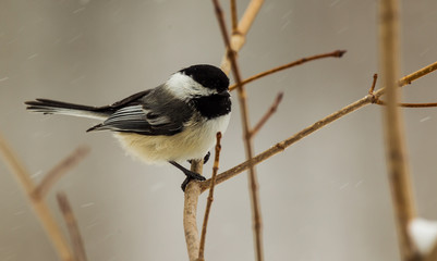 A very unhappy chickadee.