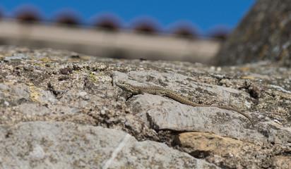 Lézard prenant le soleil sur un mur de pierre