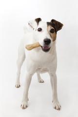 Chien avec un os: Jack Russell Terrier