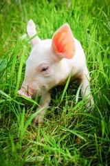 Nutztierhaltung: Kleines Ferkel sitzt im grünen Gras