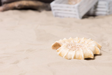 Spiral sea shell lying on beach sand