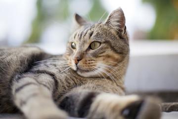 Gato pardo tumbado