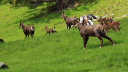 Herd of chamois animals on the pasture