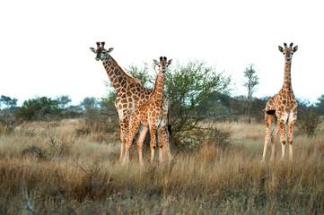Baby Giraffe Trio
