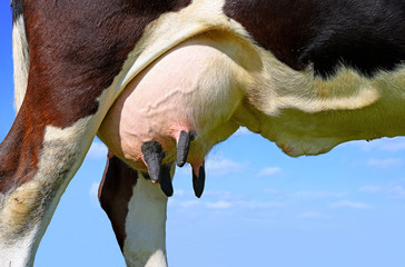Udder of a young cow.